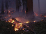 View of a Controlled Fire in a Stand of Giant Sequoia Trees Fotografisk tryk af Raymond Gehman