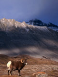 Canada's Bighorn Sheep (Ovis Canadensis), Jasper National Park, Alberta, Canada Photographic Print by Mark Newman