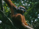 An Adult Male Orangutan on the Branch of a Tree Photographic Print by Tim Laman