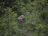 A Mountain Lion (Felis Concolor) Prowls Through the Brush Photographie par Dr. Maurice G. Hornocker
