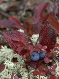 A Cluster of Blueberries Among Lichens on Tundra in Fall Colors Photographic Print by Norbert Rosing