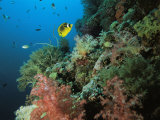 A Racoon Butterflyfish and Other Fish Swim Near a Reef Wall Photographic Print by Tim Laman