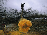 A Man Holding a Chainsaw Stands Atop a Felled Osage Orange Tree Photographic Print by Joel Sartore