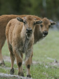 Two Curious Bison Calves (Bison Bison) Photographic Print by Tom Murphy
