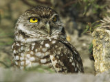 Burrowing Owl (Athene Cunicularia), Portrait, Florida Photographic Print by Roy Toft