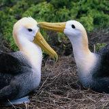 Southern Royal Albatross (Diomedea Epomophora), Galapagos, Ecuador Photographie par Wes Walker