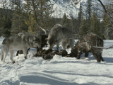 Pack of Gray Wolves Feed on the Carcass of a Deer Photographic Print by Jim And Jamie Dutcher