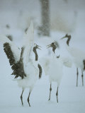 Japanese or Red-Crowned Cranes at the Tsurui-Ito Crane Sancturary Photographic Print by Tim Laman