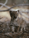 Portrait of an Eight-Week-Old Mountain Lion Kitten Photographic Print by Jim And Jamie Dutcher