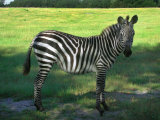 Zebra in Pasture, North Florida Photographic Print by Pat Canova