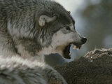 Alpha Male Gray Wolf Dominates a Deer Carcass Photographic Print by Jim And Jamie Dutcher
