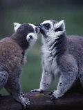 Lemur Catta (Ringtail Lemur) Photographic Print by John Dominis