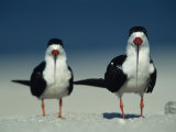Pair of Black Skimmer Birds Photographic Print by Klaus Nigge