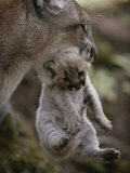 Mother Mountain Lion, Felis Concolor, Carries a Two-Week-Old Kitten Photographic Print by Jim And Jamie Dutcher