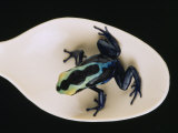 Poison Dart Frog Sits on a Plastic Spoon Photographic Print by O. Louis Mazzatenta