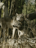Two Gray Wolves on the Forests Edge Photographic Print by Jim And Jamie Dutcher