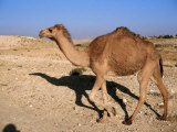 Camel, Israel Photographic Print by Jeff Dunn