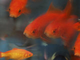 Gold Fish, Giclee Print