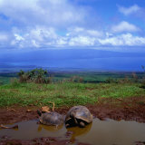 Giant Tortoises in Pond with Bay in Distance, Ecuador Fotoprint van Wes Walker