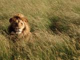 Male Lion Hiding, Masai Mara National Park, Kenya Fotografie-Druck von Michele Burgess