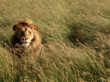 Male Lion Hiding, Masai Mara National Park, Kenya Photographic Print by Michele Burgess