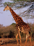 Giraffe, Phinda Game Reserve, South Africa Photographic Print by Yvette Cardozo