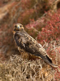A Portrait of a Galapagos Hawk on Bartolome Island Photographic Print by Ralph Lee Hopkins