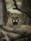 Mountain Lion Snarls and Growls Photographic Print by Jim And Jamie Dutcher