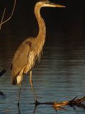 Great Blue Heron Wades in a Coastal Lagoon Photographic Print by Klaus Nigge