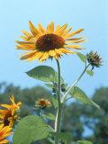 Large Sunflower  Wickford  RI