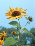 Large Sunflower, Wickford, RI Photographic Print by Jim Schwabel