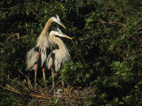 Pair of Great Blue Herons Protect the Young in Their Nest Photographic Print by Klaus Nigge
