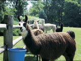 Llamas Standing Near a Fence Photographic Print