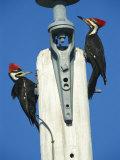 Pair of Pileated Woodpeckers on Floridas Gulf Coast Photographic Print by Klaus Nigge