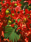 Poinciana Tree Blossoms, Bermuda Photographic Print by Francie Manning
