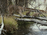 Mountain Lion and Kittens Cross a Creek on Logs Photographic Print by Jim And Jamie Dutcher