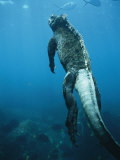A Marine Iguana Swims Underwater Photographic Print by Nick Caloyianis