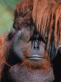 Orangutan, Borneo Photographic Print by Stuart Westmorland