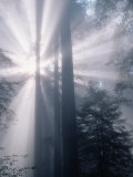 Sunrays Shining Through Redwood Trees Photographic Print by Inga Spence