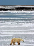 Polar Bear, Ursus Maritimus, Hudson Bay, Churchill Photographic Print by Yvette Cardozo