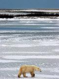 Polar Bear, Ursus Maritimus, Hudson Bay, Churchill Photographic Print by Yvette Cardozo