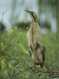 Eurasian Bittern Stretching its Neck to Get a Higher View Photographie par Klaus Nigge