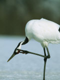A Japanese or Red Crowned Crane Scratches its Head Photographic Print by Tim Laman