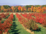 Fruit Orchard in the Fall, Columbia County, NY Photographic Print by Barry Winiker