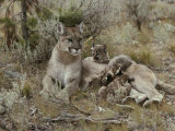 Mountain Lion Nurses her Eight-Week-Old Kittens Photographic Print by Jim And Jamie Dutcher