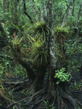 Air Plants Adorn the Trees in South Florida Photographic Print by Klaus Nigge