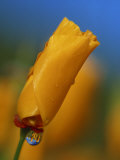 Close-up of a Poppy Bud Photographic Print by Kyle Krause