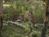 Mother Mountain Lion and her Eleven-Month-Old Cub Photographic Print by Jim And Jamie Dutcher