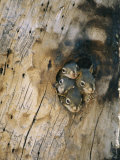 Young Squirrels Peering Out of a Nest Once Used by a Northern Flicker Photographic Print by Michael S. Quinton