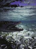 Barracuda in Water Fotografisk tryk af Timothy O'Keefe